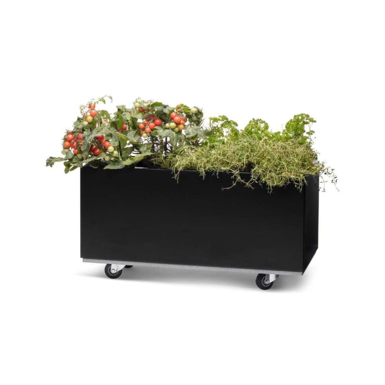 Sort blomsterkasse med beplantet tomatplante og urter