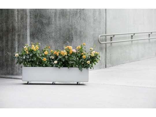 Plantekasse i grå farge og med hjul, beplantet med gule roser