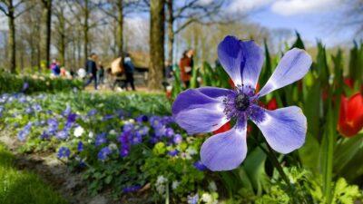 Blå vårblomster og røde tulipaner