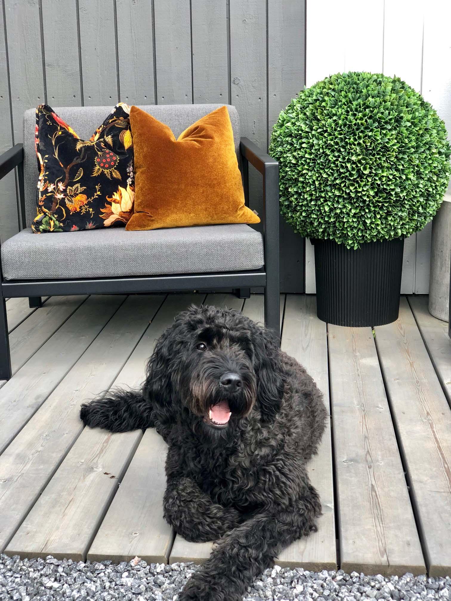 Hund på uteplass vokter hagemøbler i sort og puter i varme farger