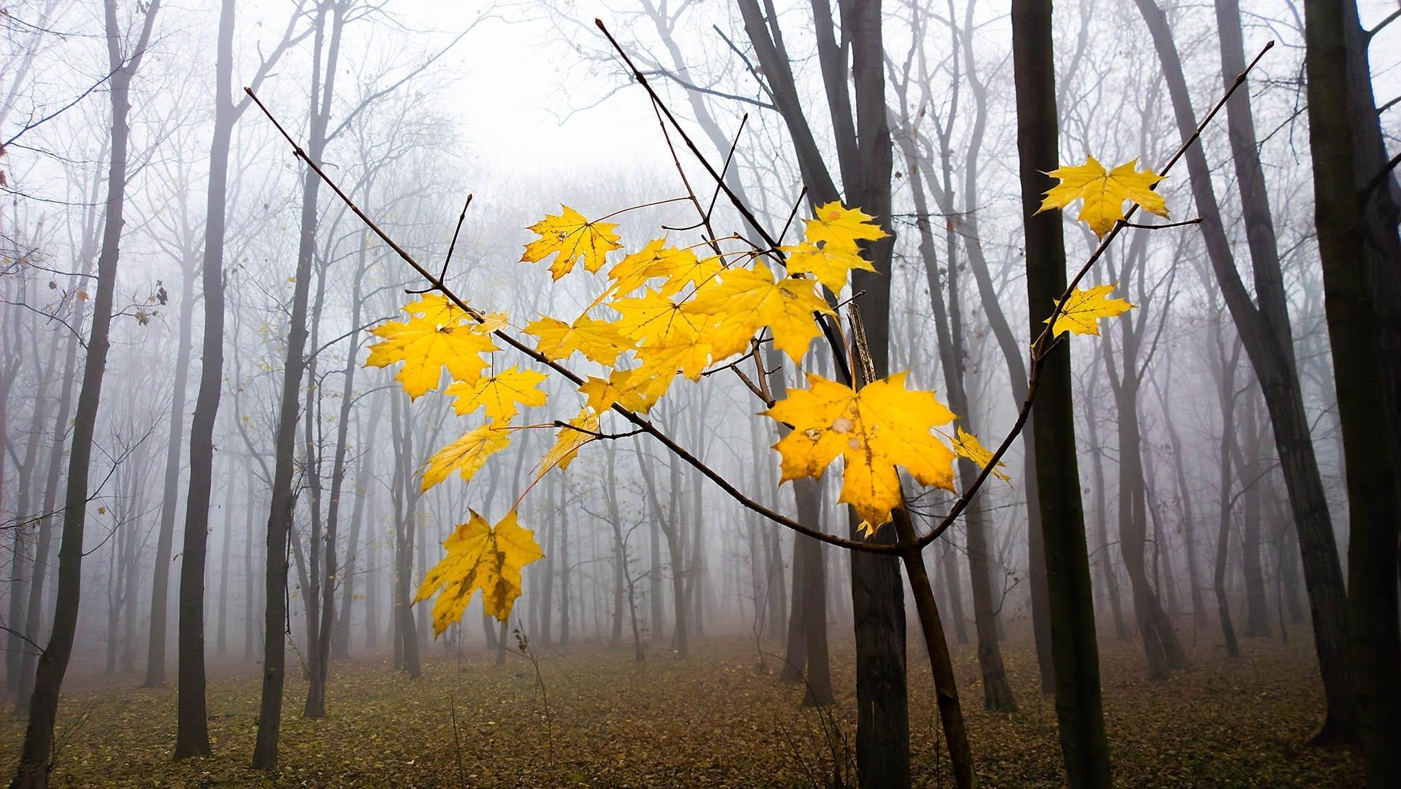 Gule lønneblader i naken høstskog