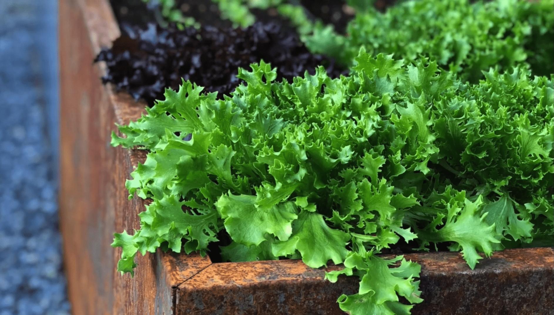 Frisk-grønn-salat-med-rød-salat-i-bakgrunn-i-bedd-plantekasser-i-rust Hagemøbler og utemøbler - Fine design